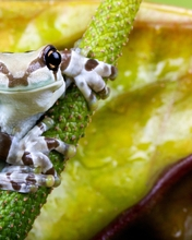 Картинка: Лягушка, квакша, жабовидная, арлекин, земноводное, стебель, растение