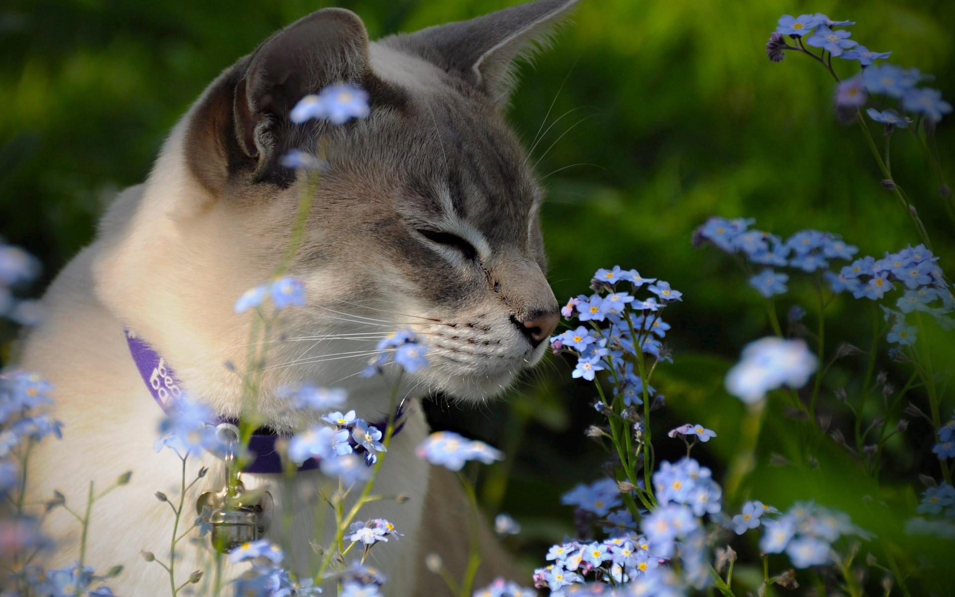 Картинка: Кошка, цветы, поле, нюхает, ошейник