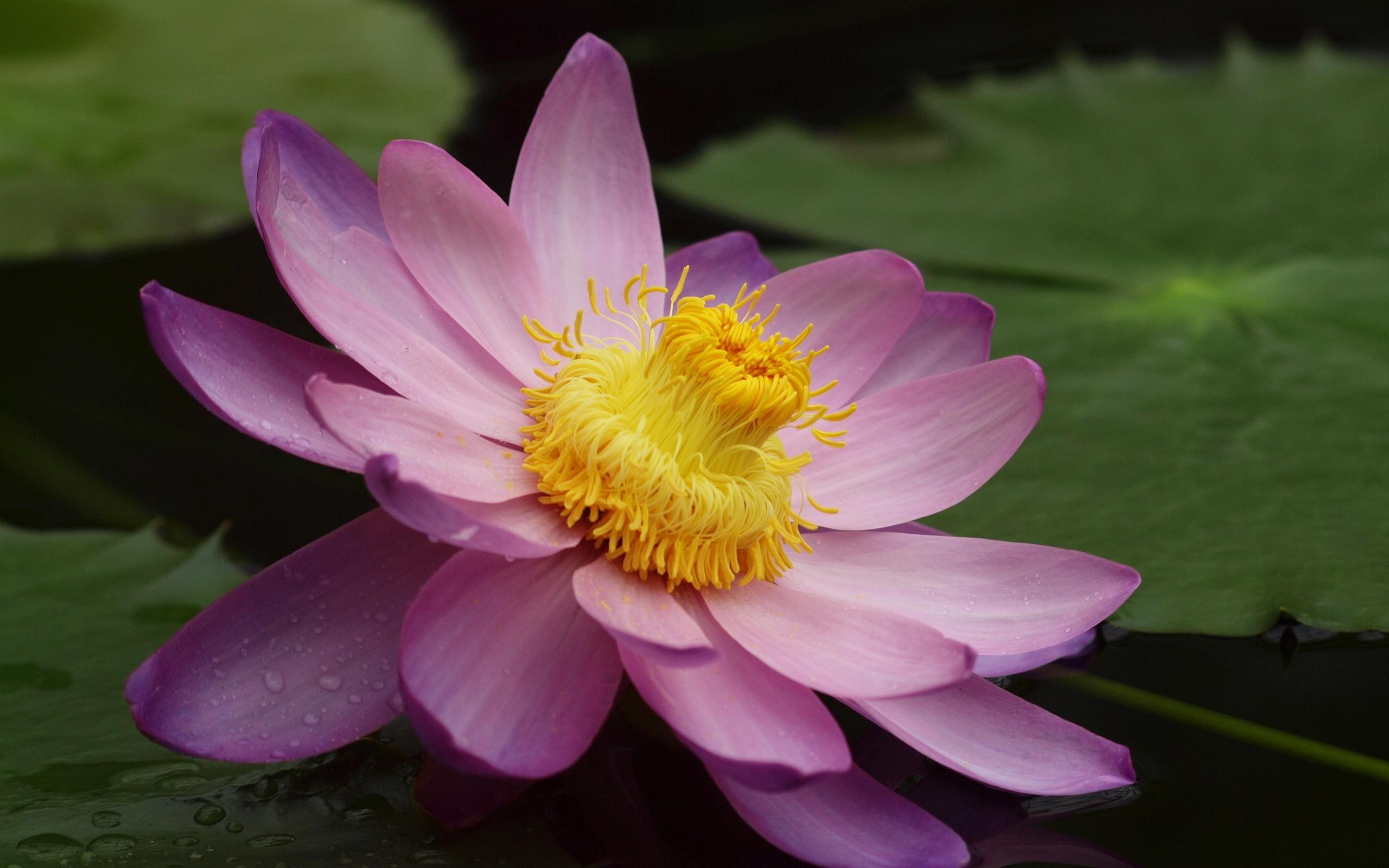 Картинка: Цветок, лотос, розовый, листья, вода