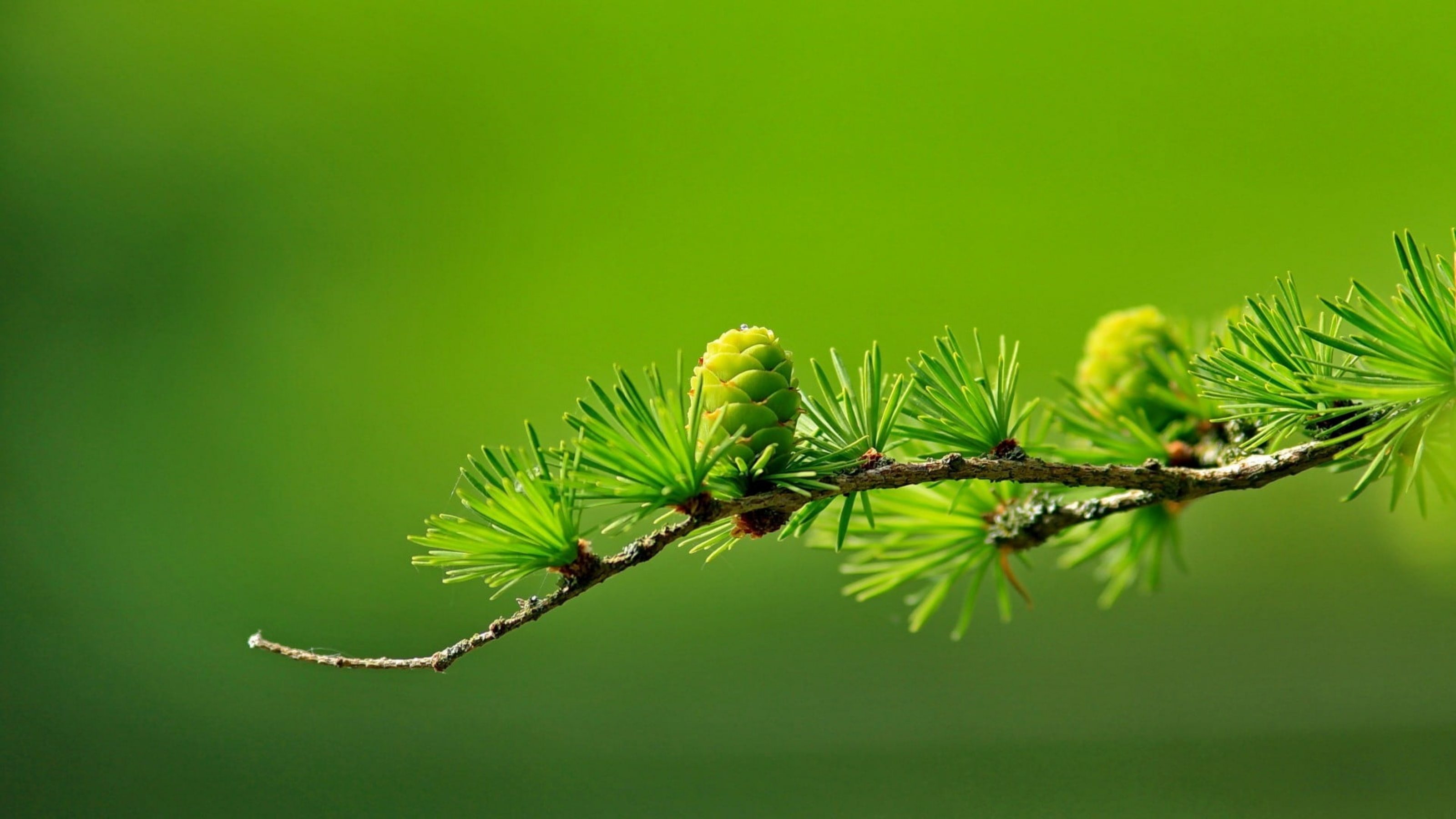 Картинка: Хвоя, лиственница, шишка, зелёная, иголки, зелёный фон