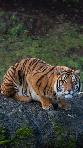 Картинка: Тигр, полосатый, хищник, сидит, взгляд, смотрит, бугор, природа, растительность
