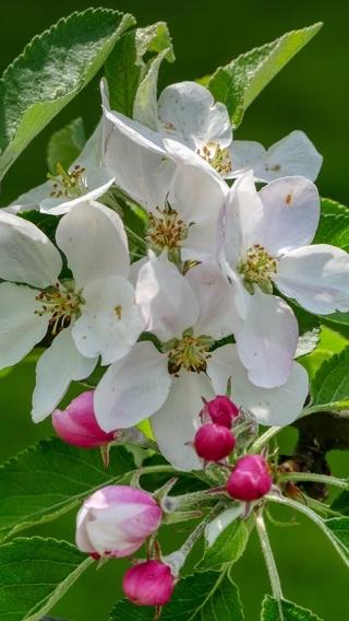Картинка: Цветы, белые, ветка, листья, зелёный фон